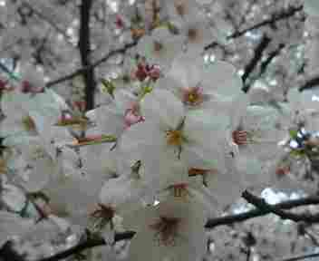20070408桜.jpg